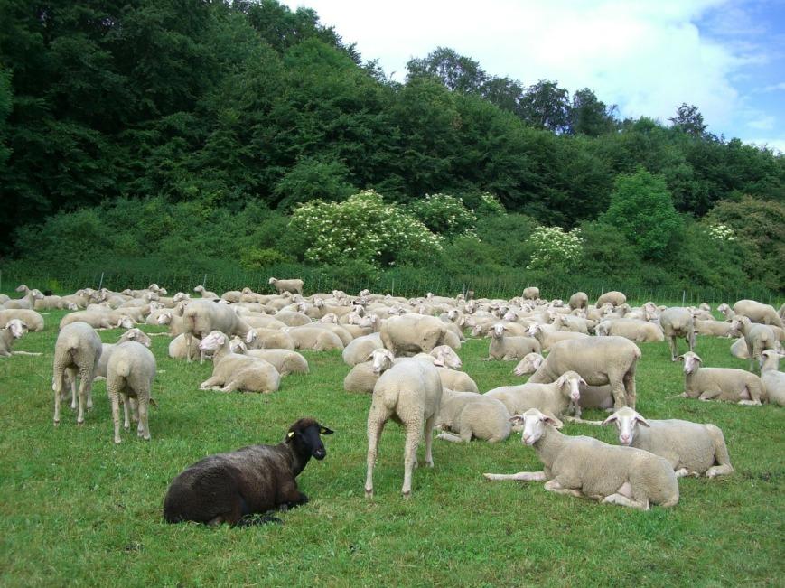 black-sheep-250267_1280.jpg